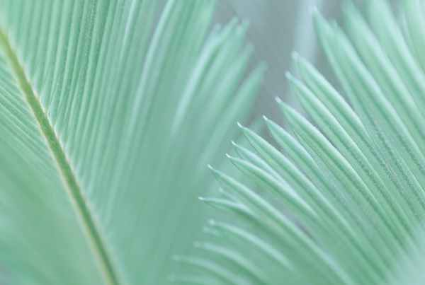 green leaves of tropical cycas revoluta palm