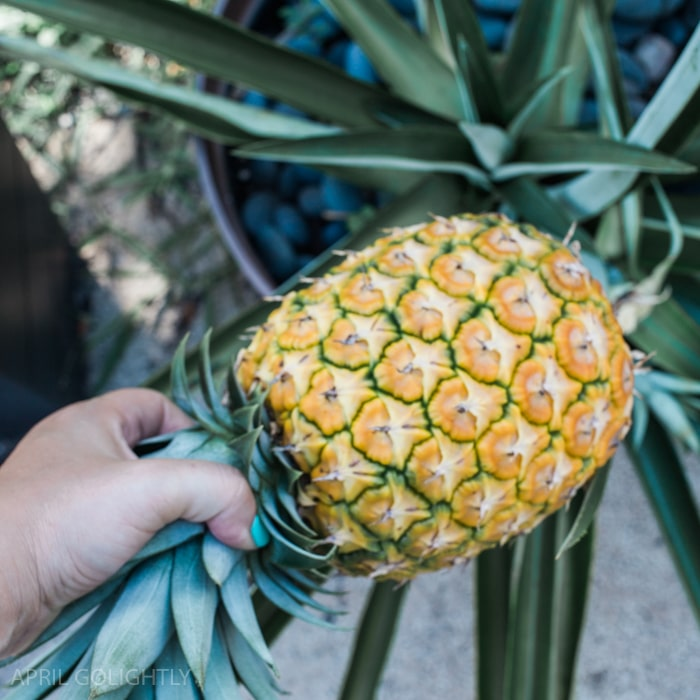 Growing Pineapple in Your Yard