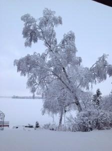 Backyard Birch in Snow