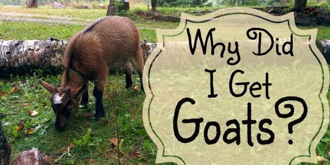 Why I got Goats