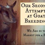 Our Second Attempt at Goat Breeding