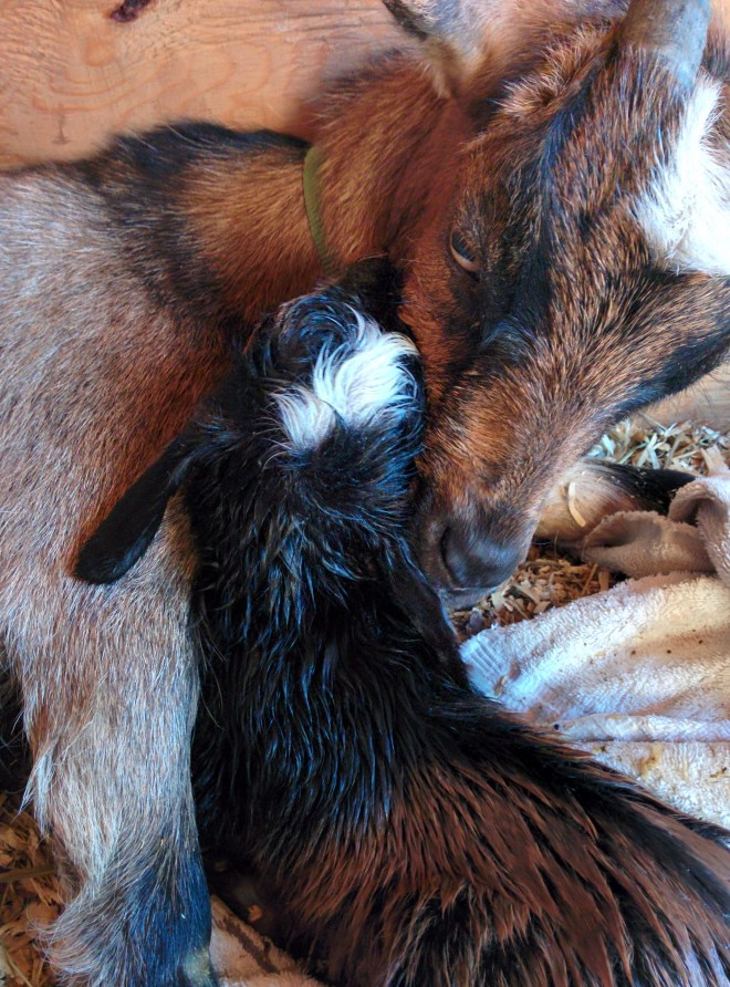 Our first baby goat was born on the farm today! Oh how awesome to witness a life coming into the world.