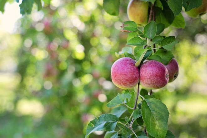apples-in-tree-905095_1280