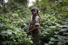 Aline, along with other rangers and park staff visit the gorilla's in the parks Mikeno sector, where the majority of the gorilla families live in Virunga National Park. Therefore there has been a surge of poaching and violence in the area. For the first time, women have taken up the most dangerous job in wildlife, becoming para-military rangers at the Virunga National Park in DR Congo. Virunga is Africa's oldest national park and home to over 200 of the world's 800 remaining mountain gorillas. For two decades it has been at the centre of a war. Hundreds of rebels operate in the park and over 150 park rangers have died protecting it from them.