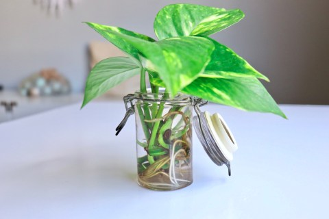 How to Build Up Your Plant Stash On a Budget | Pothos Propagation