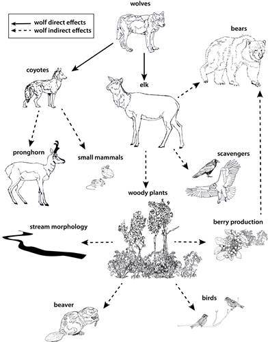 white tailed deer diagram