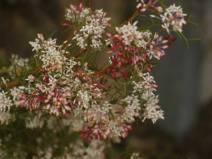 Grevillea levis - Photo J. Lulham