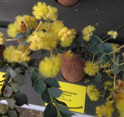 Acacia phlebopetala