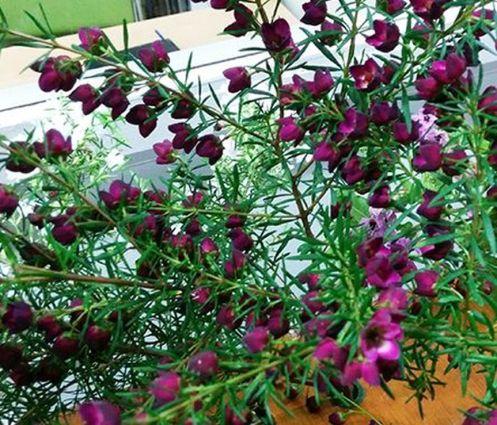 Boronia 'Purple Jared' (Boronia heterophylla X megastigma)