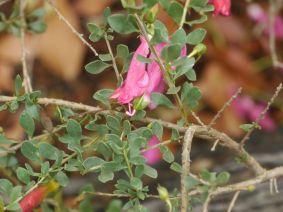 Eremophila maculata ssp brevifolia