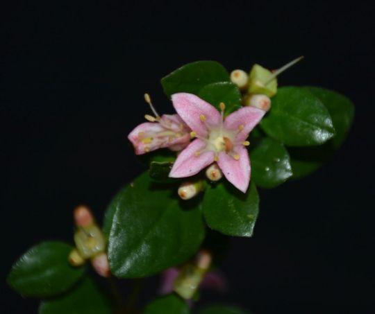 Correa alba (pink form)