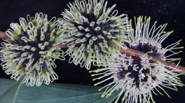 Hakea petiolaris ssp. petiolaris