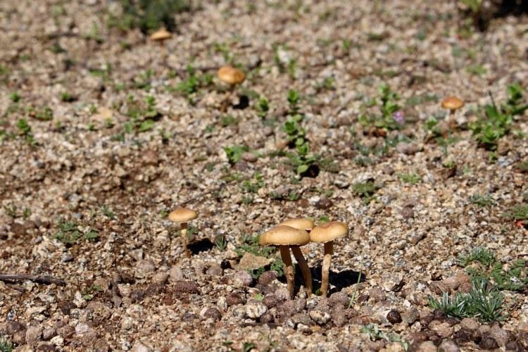 Hongos silvestres en Melosilla