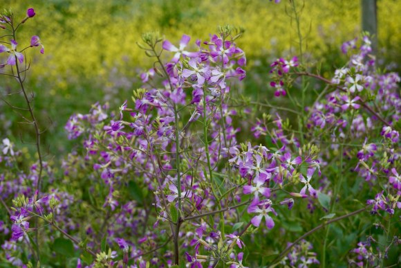 Flores silvestres en Pichilemu