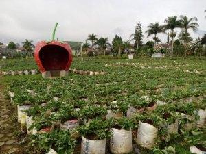 Memetik Buah Strawberry di Vin's Berry Park, Bandung