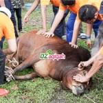 Harga Sapi Dan Domba Untuk Kurban Di Purwakarta