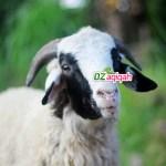 Harga Kambing dan Domba Kurban Murah di Purwakarta