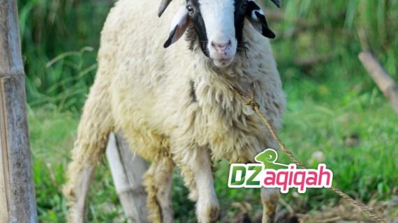 Desa Peternakan Sapi dan Domba Untuk Kurban di Purwakarta