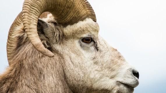 Beli Sapi Kurban dan Domba Kurban di Purwakarta