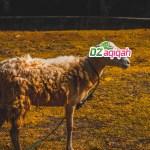 Harga Sapi dan Domba Kurban di Purwakarta