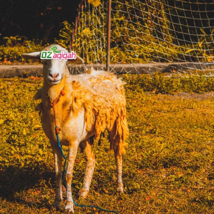 Daftar Harga Sapi dan Domba untuk Kurban di Purwakarta