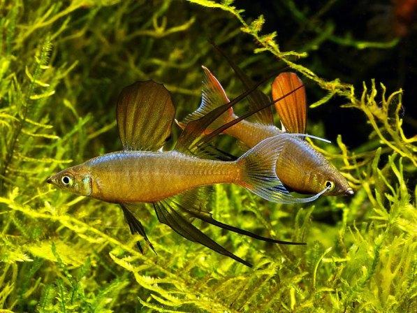 ириатерина вернера в нано аквариуме