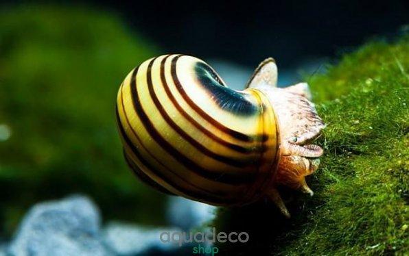 Виды аквариумных улиток, описание и содержание 1534686540 10 AquaDeco Shop