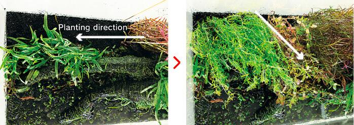 Направление высадки аквариумных растений по инструкции ADA