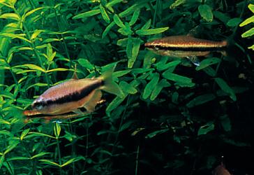Виды аквариумных рыб для травника