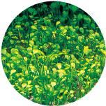 Marsilea angustifolia