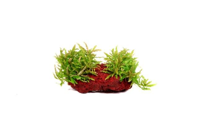 Погостемон хелфери- аквариумное растение переднего плана, содержание и уход