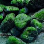 Groene alg