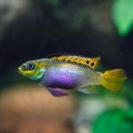 Pelvicachromis_taeniatus