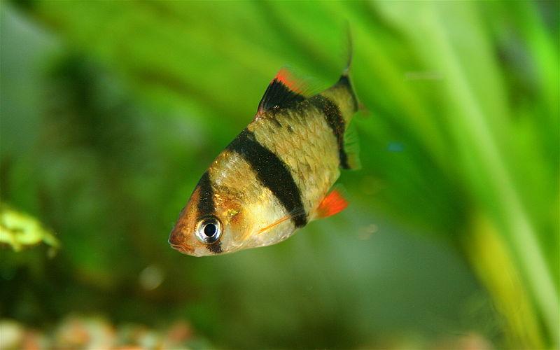 Барбусы: описание, виды, уход, содержание, кормление, размножение