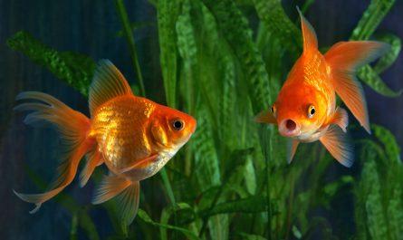 Золотые рыбки: история, уход и содержание, размножение