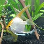 Aurum: gold angelfish