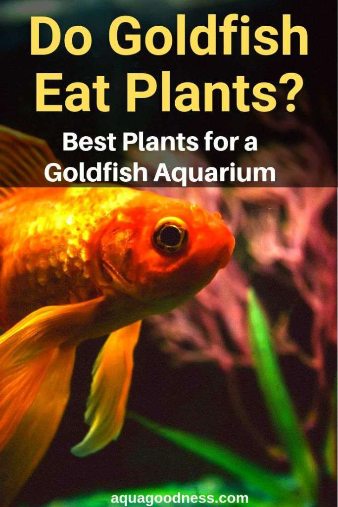 Do Goldfish Eat Plants and Best Plants for a Goldfish Aquarium image