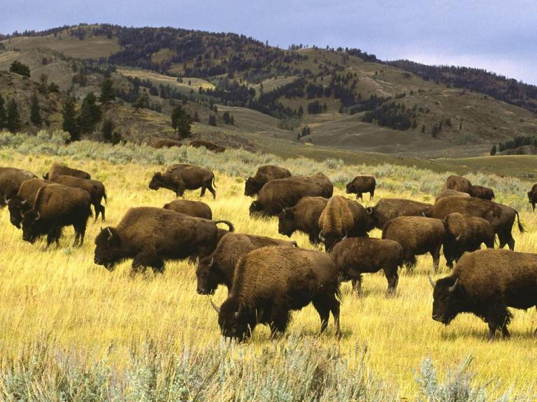 yellowstone-national-park-animal