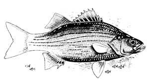 Logan Martin Lake, Alabama, US Fish Identification Chart