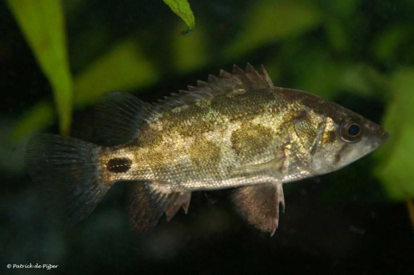 Nandus nandus, Gangetic leaffish
