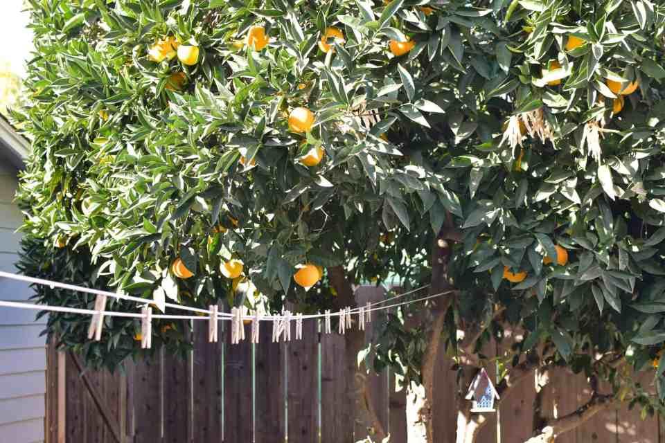 a fruit tree part of a garden