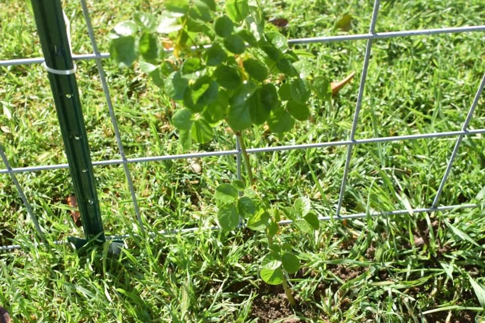 diy garden trellis posts