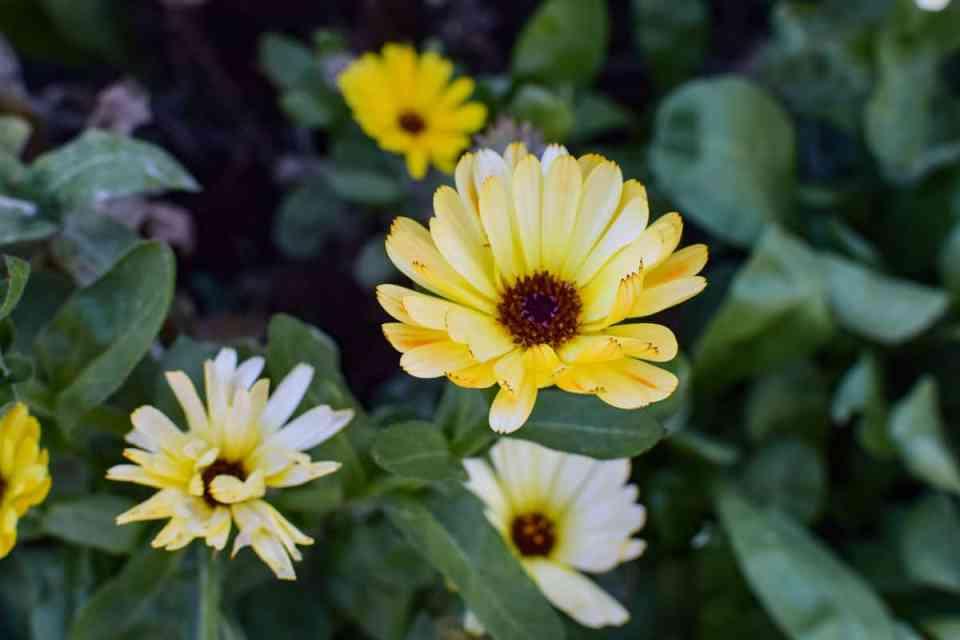 easy to grow flowers calundula upclose