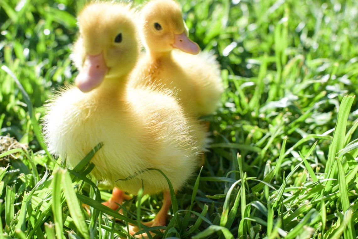 two baby ducks on a lawn of a farmhouse in the city