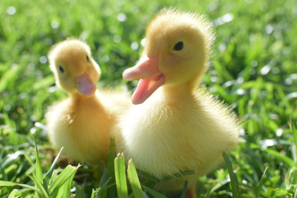 two baby ducks walking on the grass of a farmhouse in the city