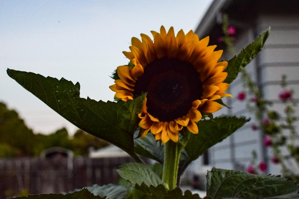 sunflower upclose from our city farmhouse