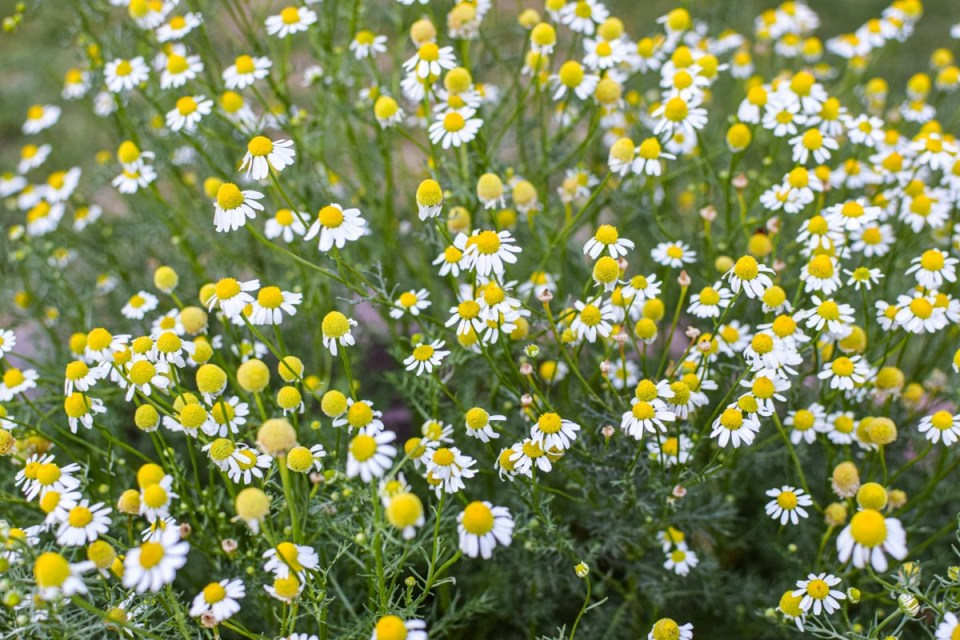 chamomile flowers to be harvested for hot and cold brew tea
