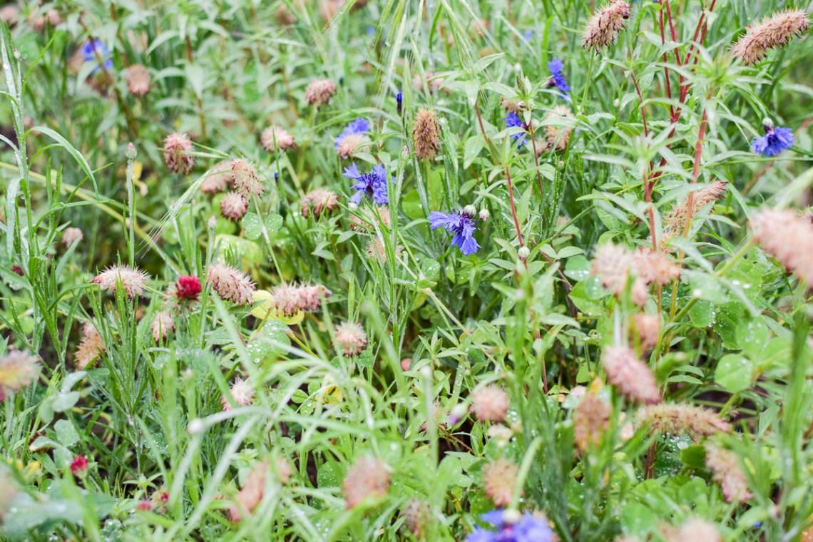 wild flowers in a small backyard meadow