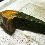 TyingMoss15 150x150 Cara Menanam Moss, Riccardia atau Fissiden