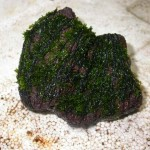 TyingMoss25 150x150 Cara Menanam Moss, Riccardia atau Fissiden
